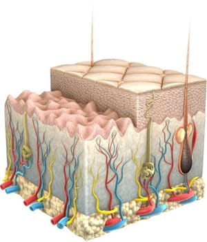 Graphic presentation of the skin and its layers with volume-giving cells.