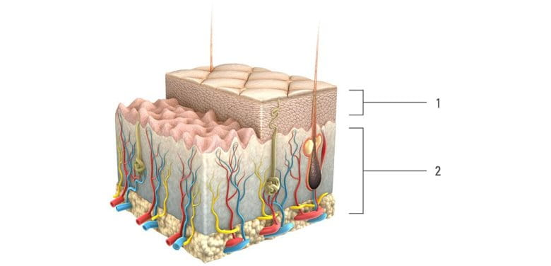 Graphic presentation of skin structure with different layers.